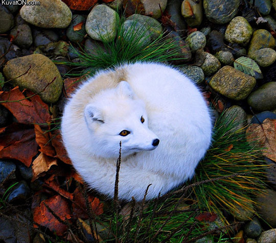 beautiful_photo_of_an_arctic_fox.jpg