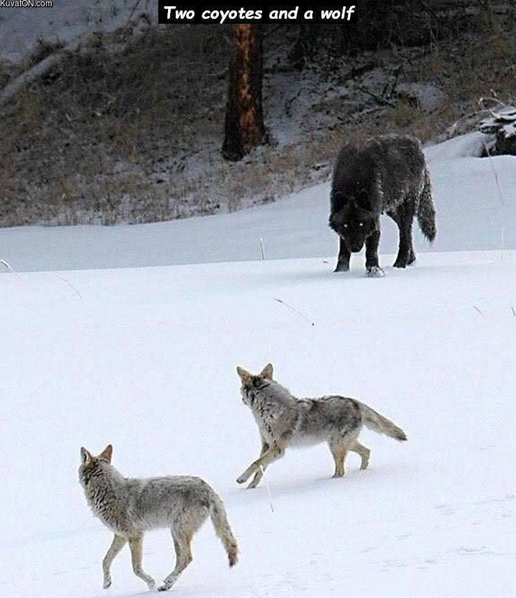 big_wolf_.jpg