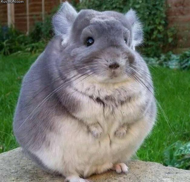 fat_rat.jpg