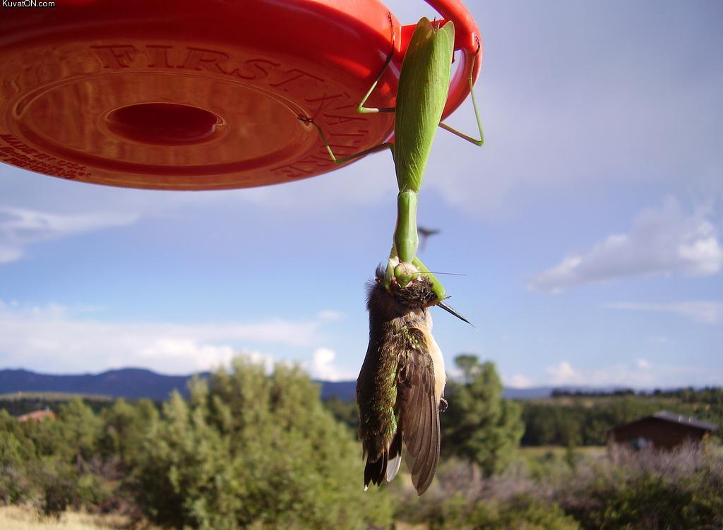 Un étrange animal redécouvert en Colombie Mantis_vs_bird