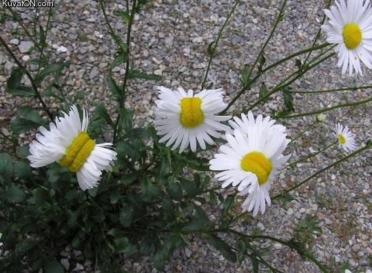 mutant_daisies_from_the_fukushima_disaster_site.jpg