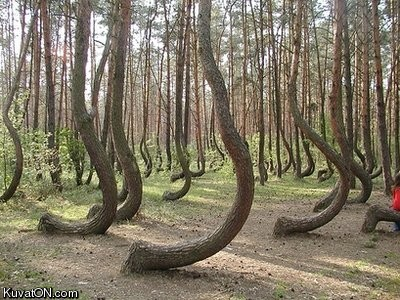 Arbres hors du commun Mysterious_crookes_trees_in_poland