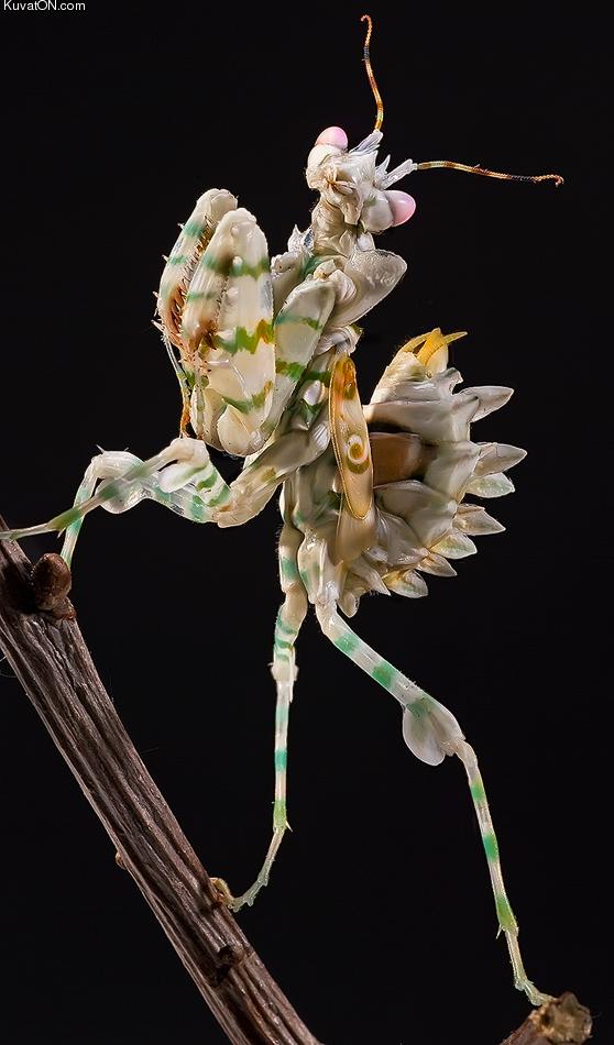 Un étrange animal redécouvert en Colombie Spiny_flower_mantis