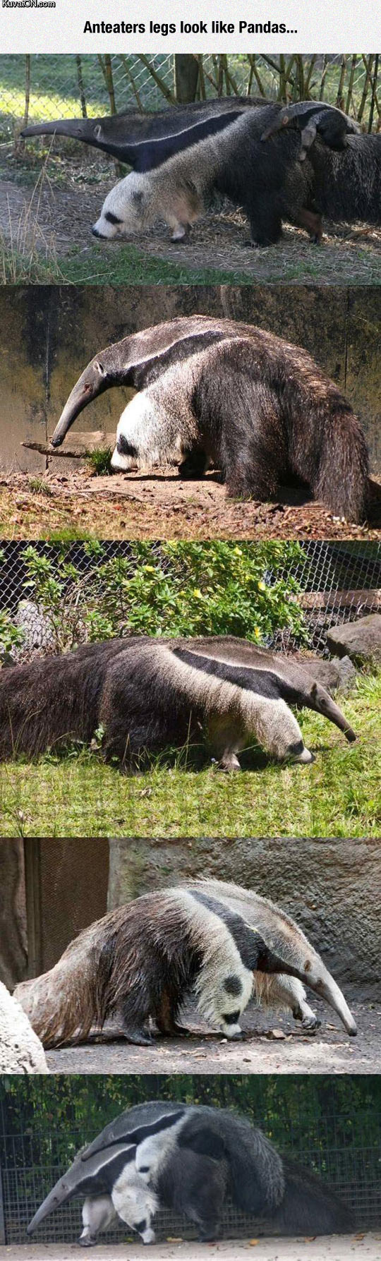 the_anteater_is_two_animals_in_one.jpg