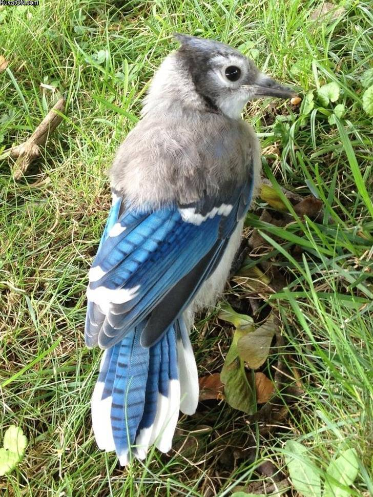this_blue_jay_still_has_half_of_its_baby_feathers.jpg