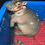 cute_baby_hippo.jpg