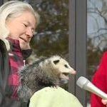 kiukkunen_opossumi.jpg