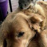 koalajadoge.jpg