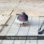 monroe_pigeon.jpg