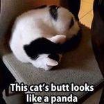 panda_cat.jpg
