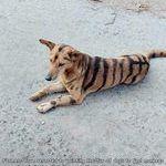 tiger05.jpg