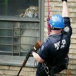 tiger_vs_nypd.jpg